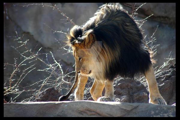 Lion by PBPhoenix