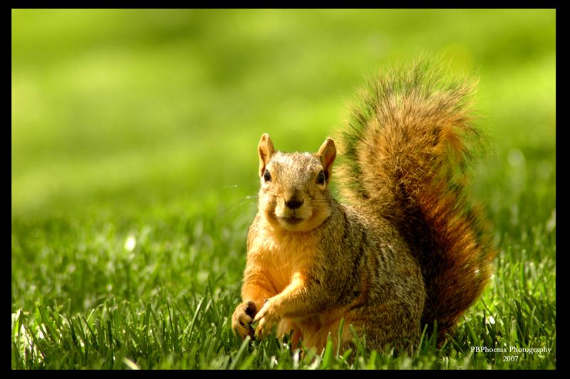 Squirrel by PBPhoenix