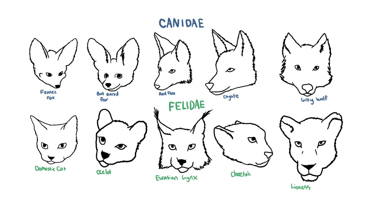 Canidae /Felidae