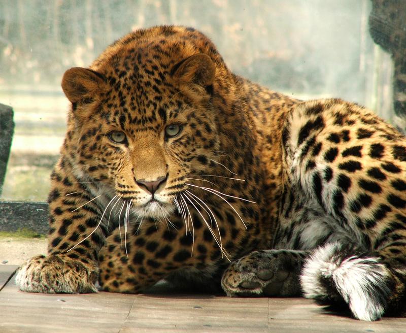 [صورة مرفقة: Amur_Leopard_by_Draghonia.jpg]