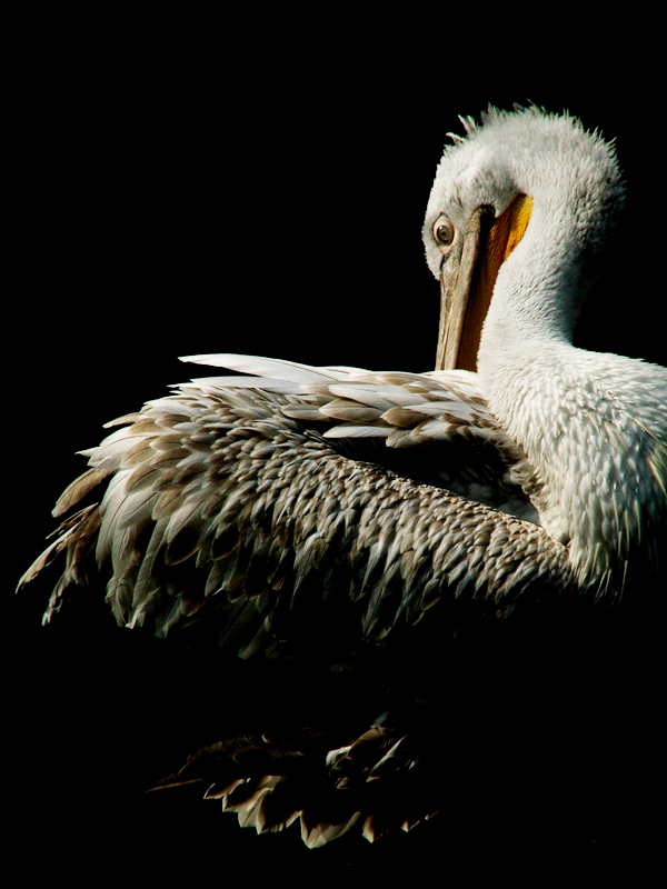 Pelican in darkness by Draghonia