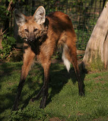 maned wolf by Draghonia