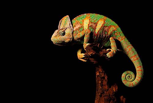 Chameleon by revengephotography