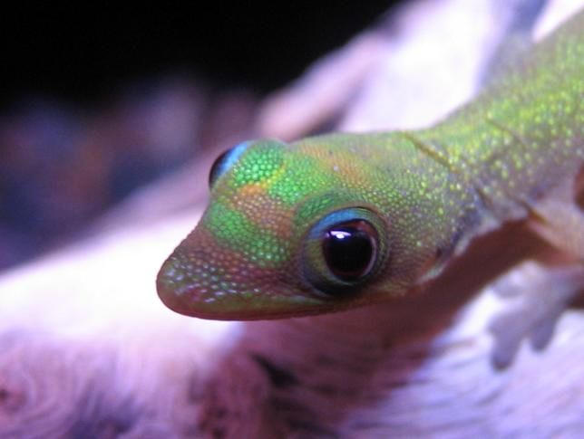 Gold dust day gecko by phantom-pirate