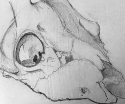 Skull Study by Bunlief
