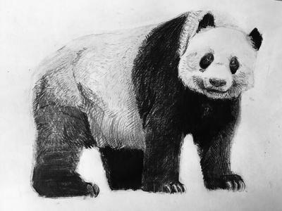 Panda Study by Bunlief