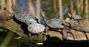 Turtles by rrrussell