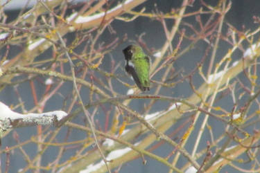 Anna's Hummingbird in snow by ArtbyMom