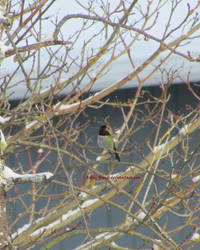 Hummingbird in Snow by ArtbyMom