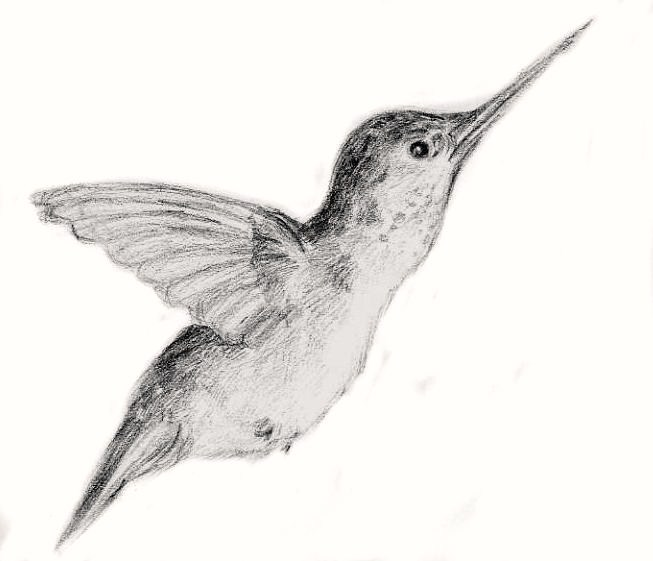 Hummingbird sketch by byrdwerm