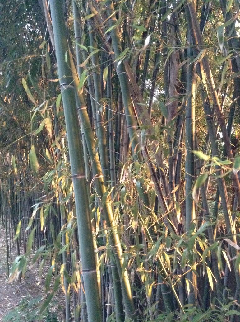 Bamboo by KlarkKentThe3rd