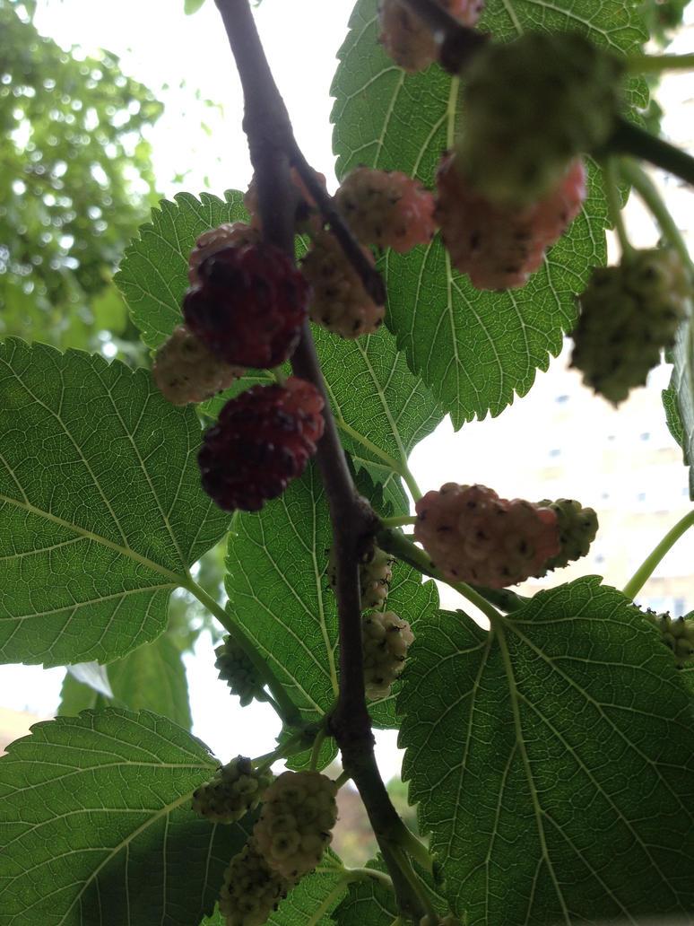 Berries by KlarkKentThe3rd