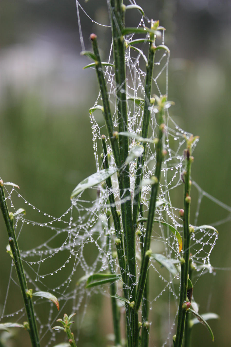 Spiders do in Morning Dew 3 by BlueDragonRose