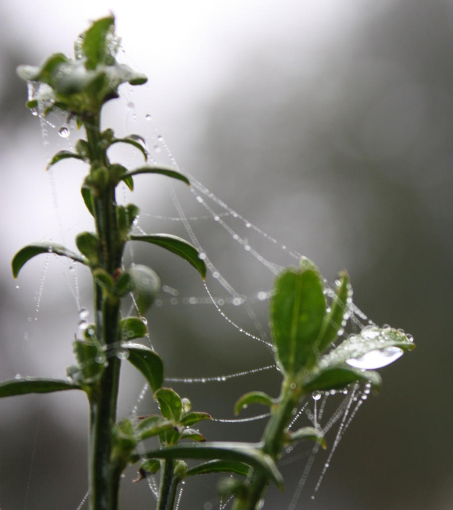 Spiders do in Morning Dew 5 by BlueDragonRose
