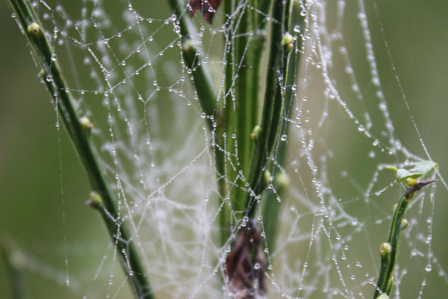 Spiders do in Morning Dew 12 by BlueDragonRose
