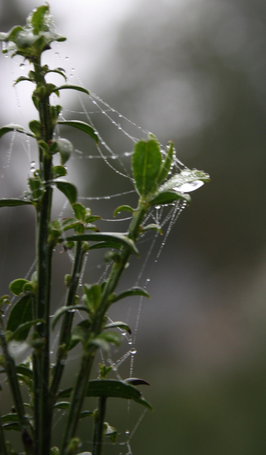 Spiders do in Morning Dew 13 by BlueDragonRose