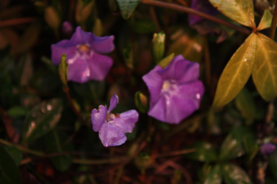Deadly Purple by BlueDragonRose