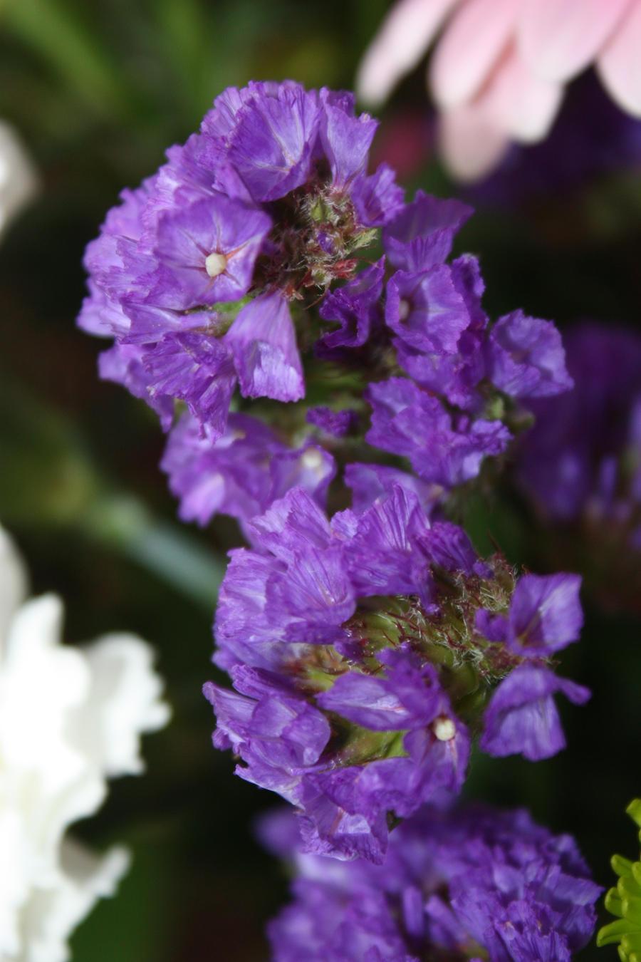 Purple by BlueDragonRose