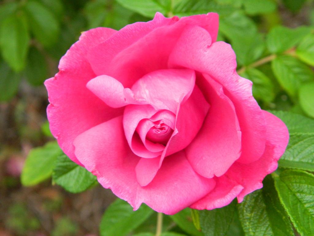 Rose by BlueDragonRose