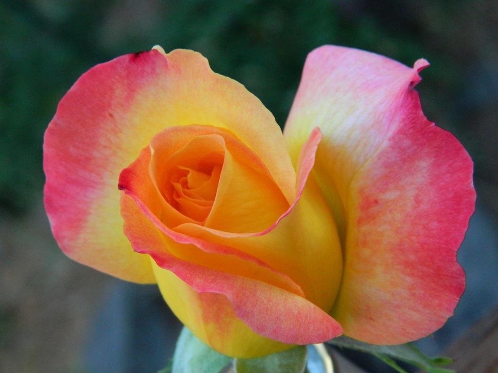 Sweet Rose by BlueDragonRose