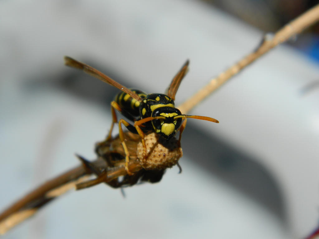 Wasp by BlueDragonRose