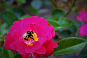 Rose and the Bee