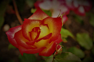 Once there was a Rose