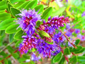 Purple Dances