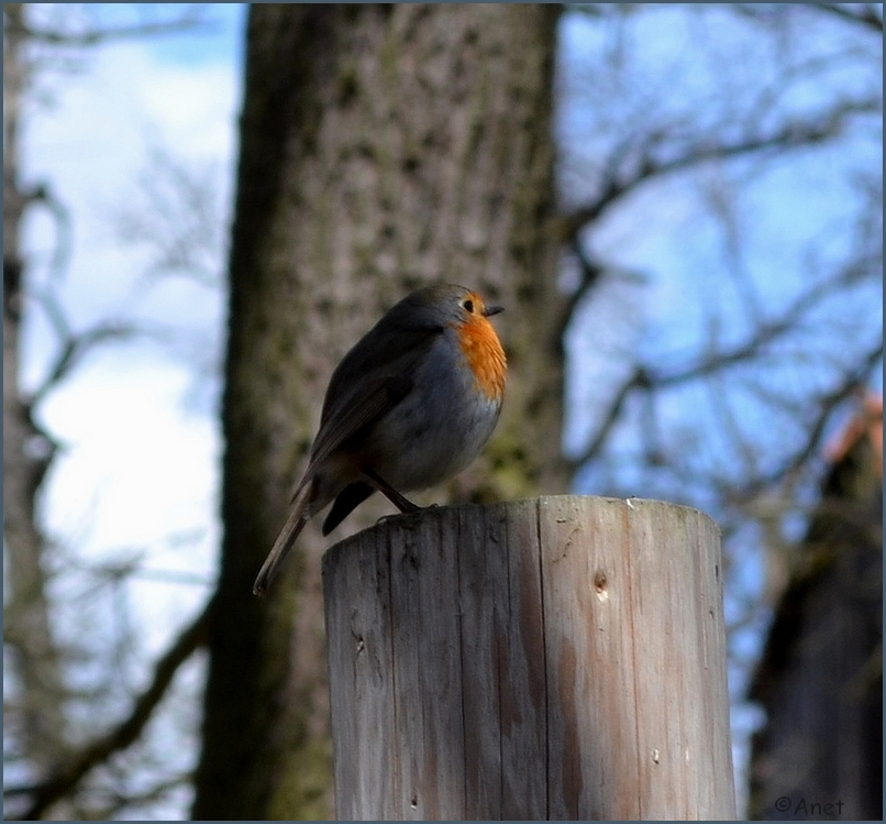 Robin I. by Ennete