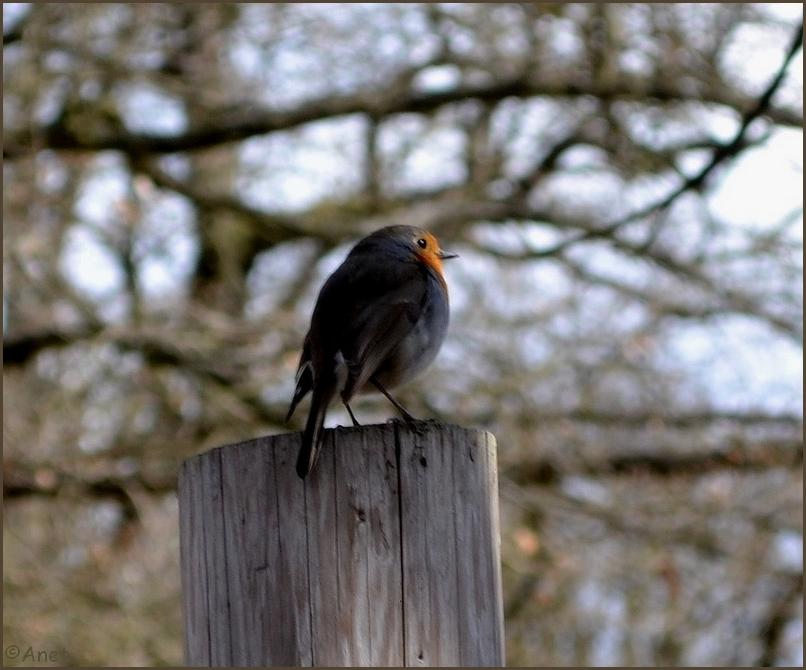 Robin II. by Ennete