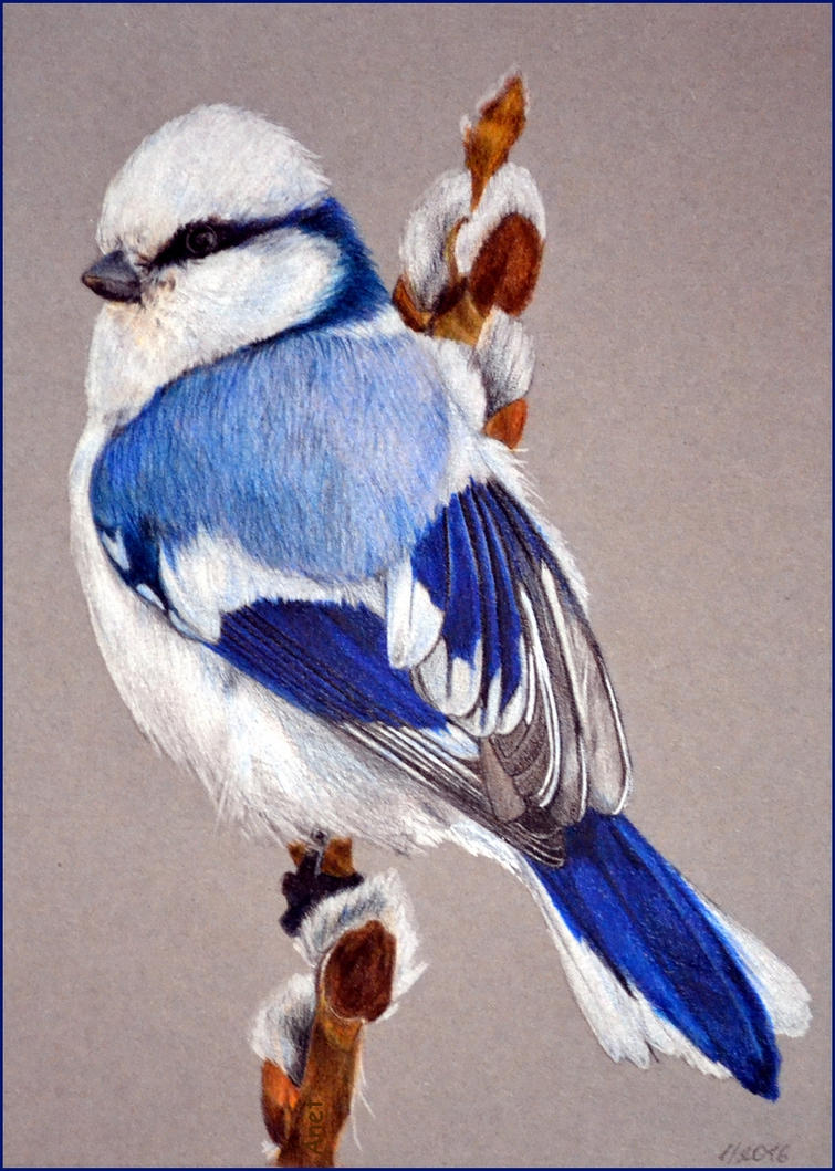 Drawing - Azure Tit by Ennete