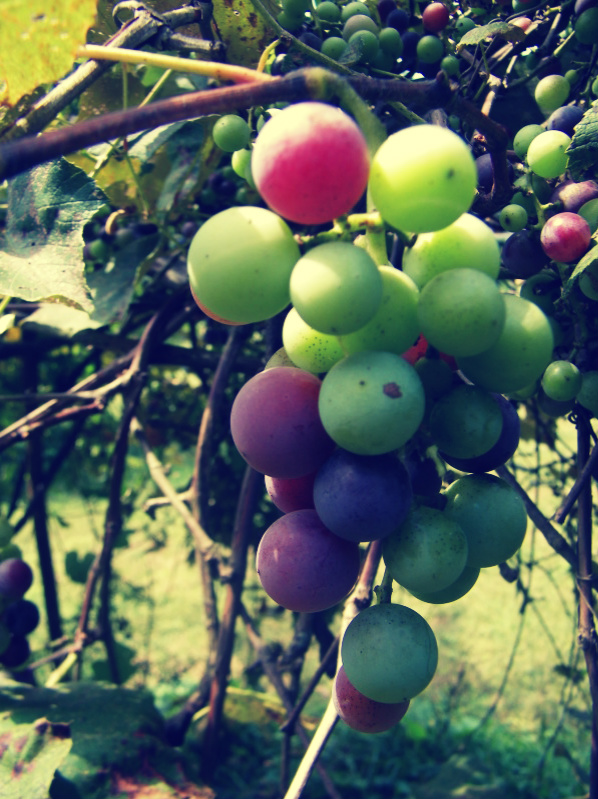 Grapes - Green and Purple by janette4211