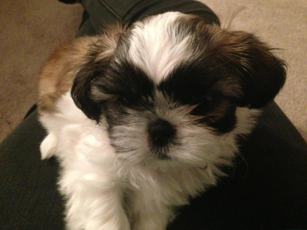 my friend's new puppy bella! by iluvgrey