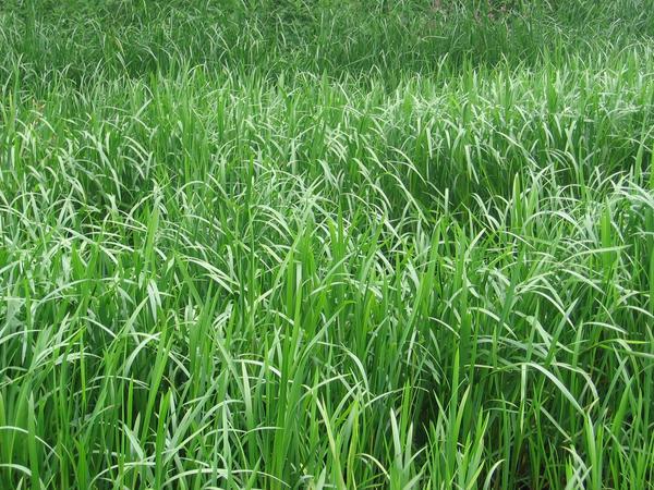 River Grasses by melemel