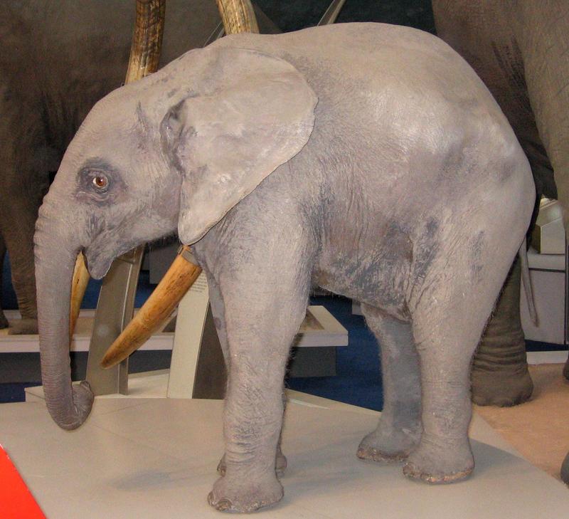 Baby Elephant by melemel