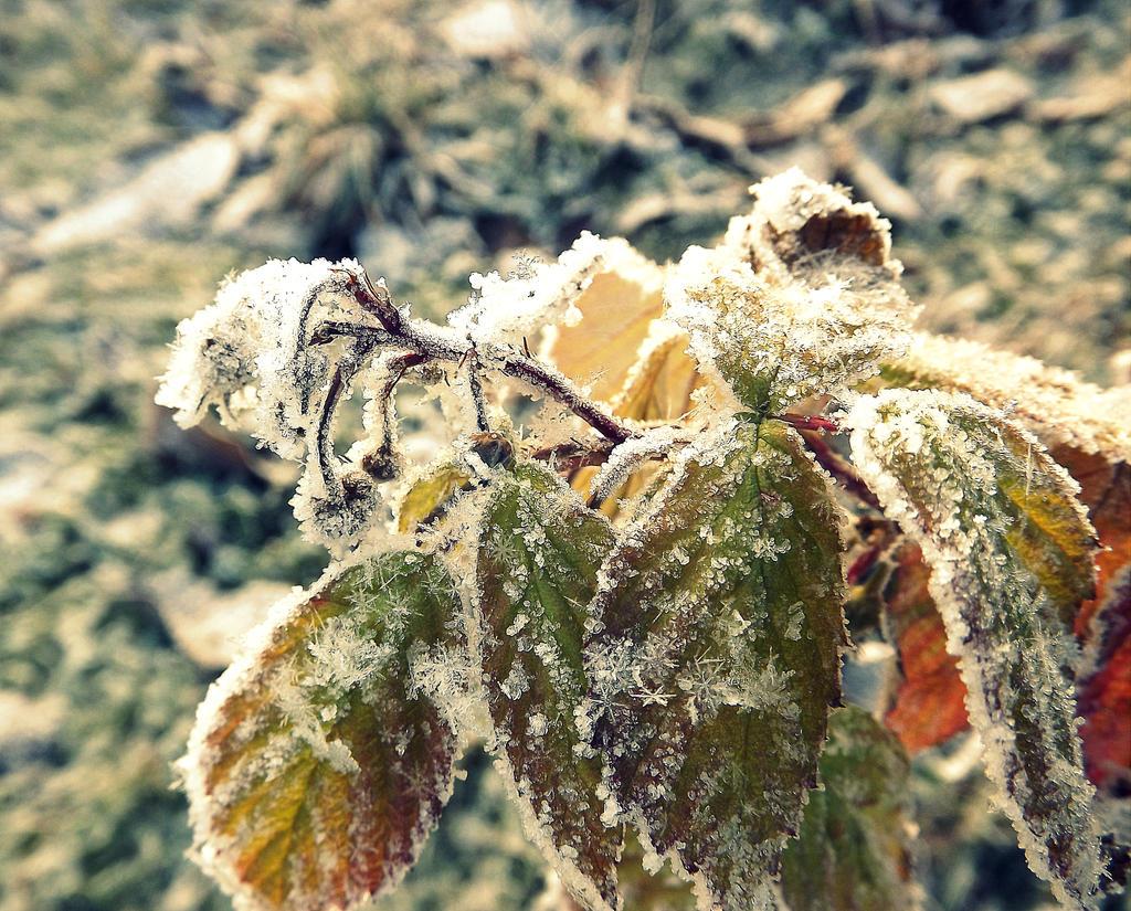 Frozen flower by ANorthernStar on DeviantArt