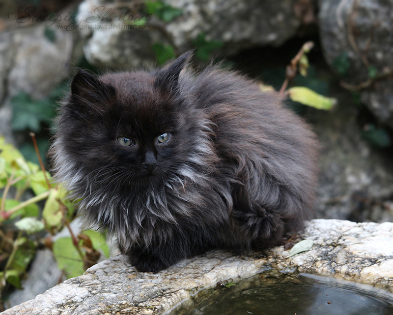 Fluffy Black Kitten Iii By Sweepingshadows On Deviantart
