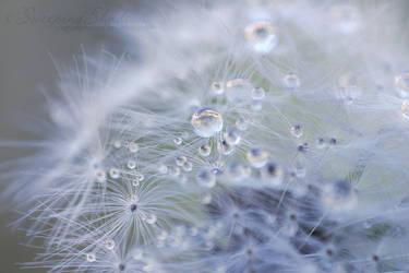 Dandelion Droplets 4 by SweepingShadows