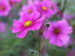 Pink Cosmos Flower no. 1