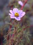 Light Pink Cosmos Flower no. 2