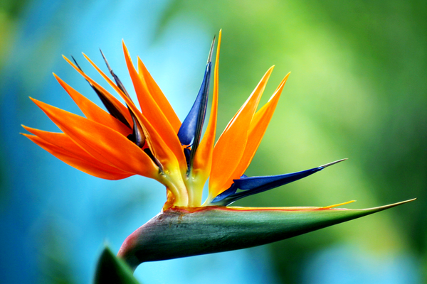 Blue Bird of Paradise by Massano
