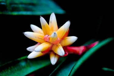 Oriental Bromiliad