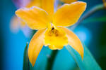 Yellow Orchid I