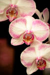 Light Pink Striped Orchid