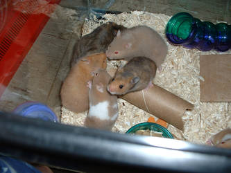 Baby Hammies in Cage