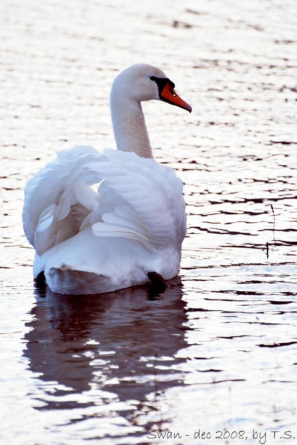Swan in december