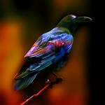 Pyschadelic Raven