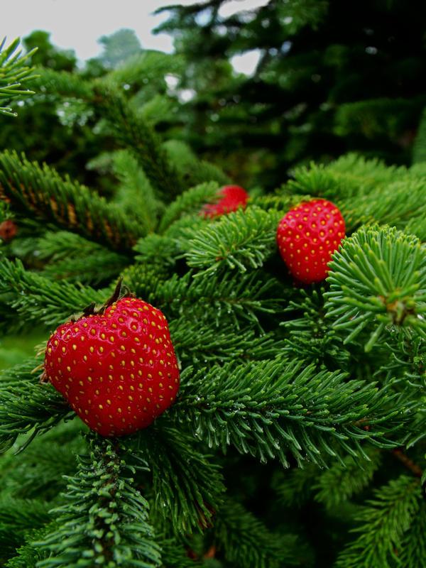 strawberry tree pics. arbutus unedo the killarney strawberry tree, Beautiful flower