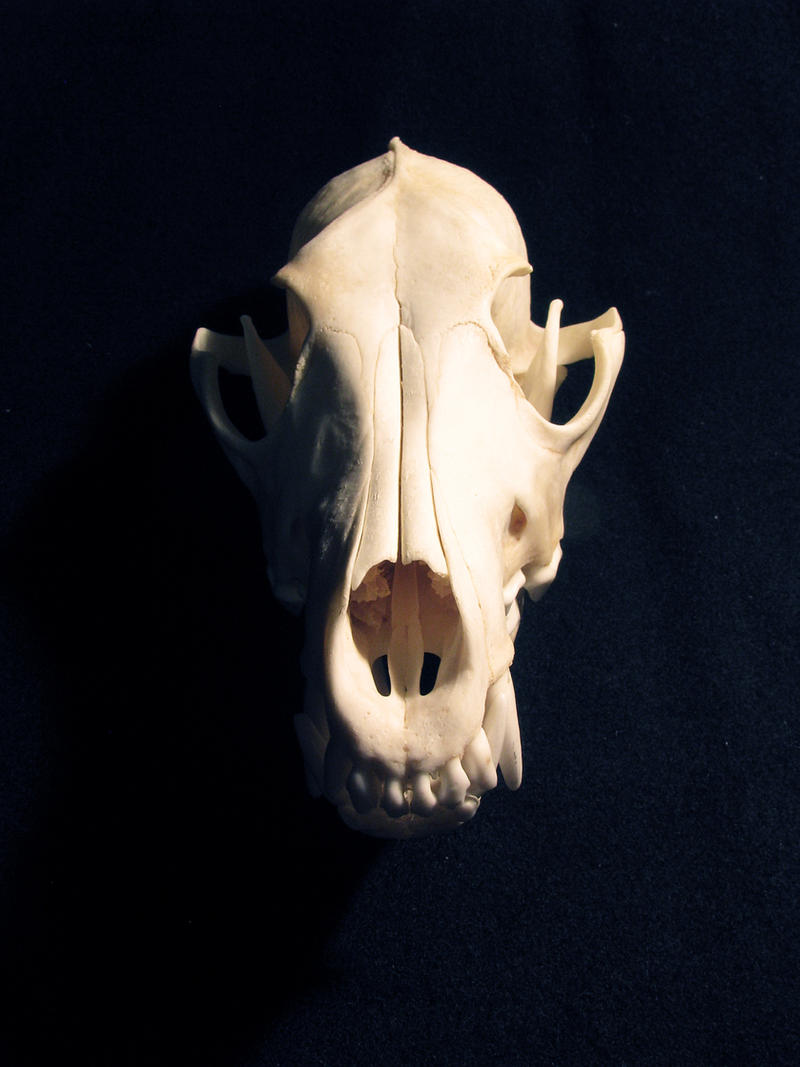 Dead earth: coyote skull by WolfRoad