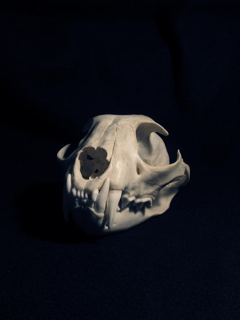 Dead Earth: The skull of the European lynx by WolfRoad